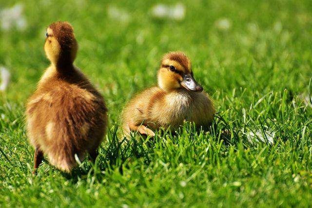 Enten auf einer Wiese im Park